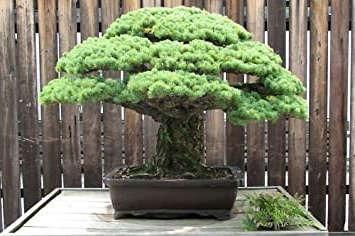 Bonsai pino Parviflora