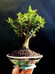 bonsai enano de olivo