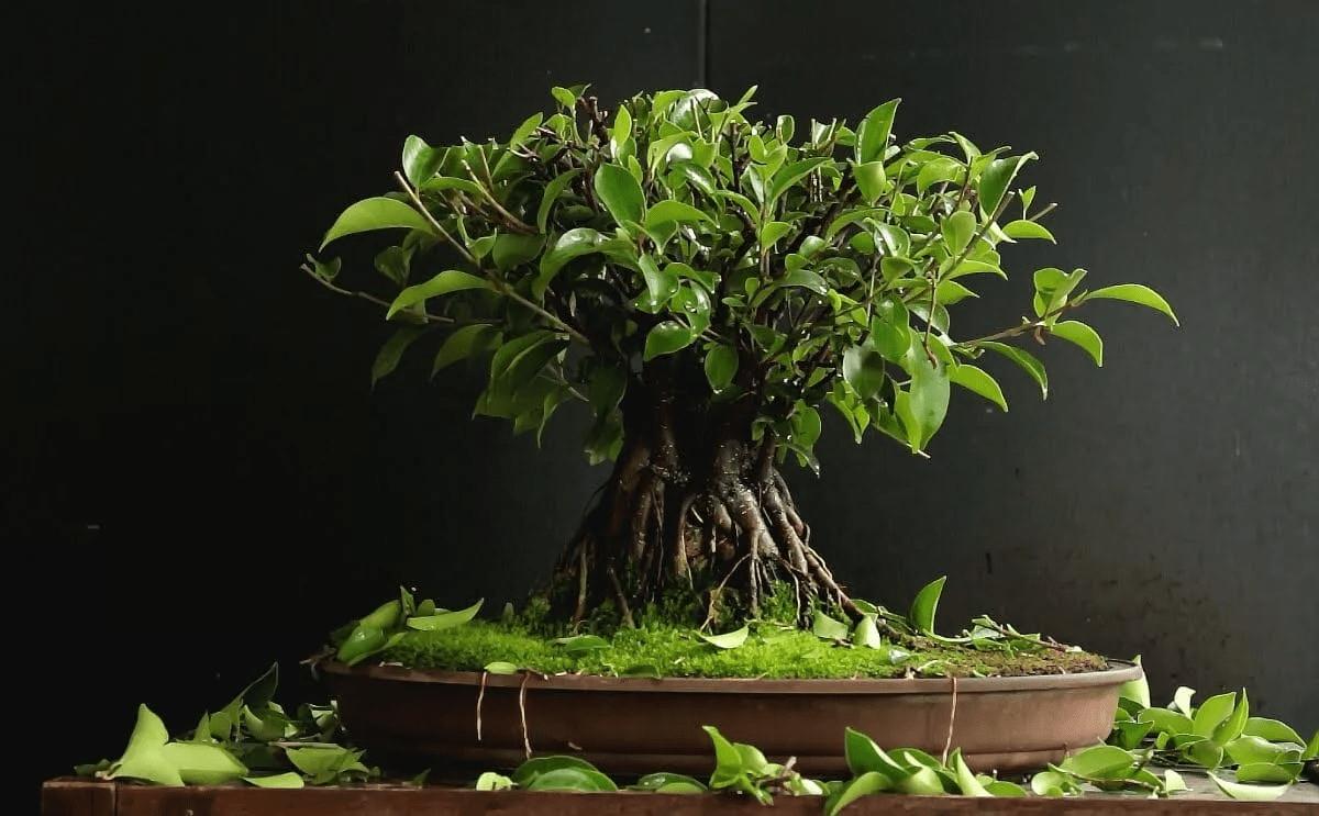 Bonsai Ficus sobre fondo negro