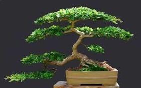 bonsai olivo negro precioso