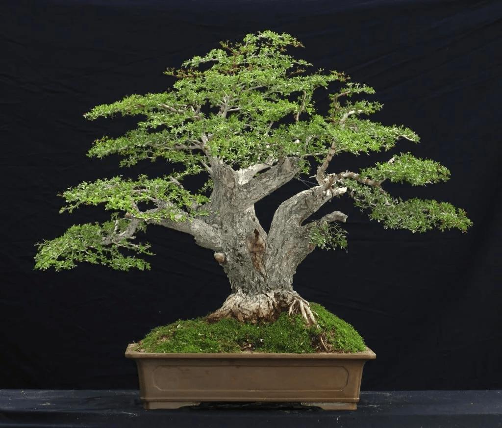 bonsai olivo sobre un fondo negro