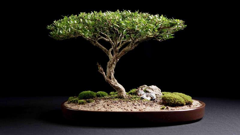 bonsai verde con musgo