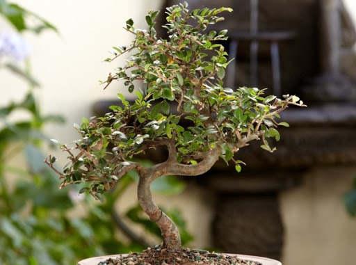 como cuidar un bonsai exterior