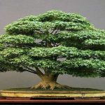 como hacer un bonsai de un arbol normal