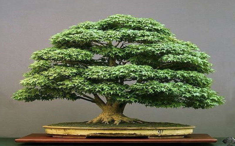 como hacer un bonsai de un arbol normal