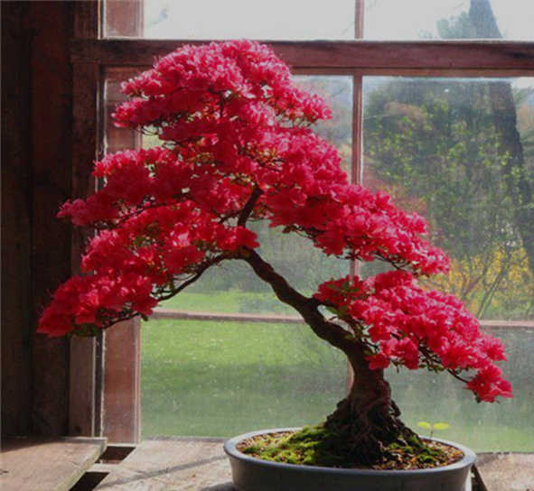 bonsai azalea color rosa