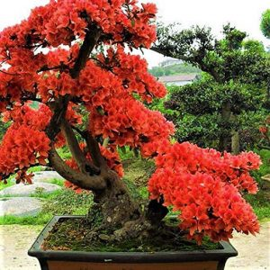 azalea bonsai color rojo