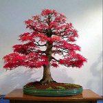 bonsai acer palmatum o bonsai arce japones