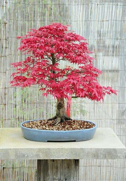 bonsai tipo de arce japones