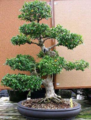 bonsai tipo carmona