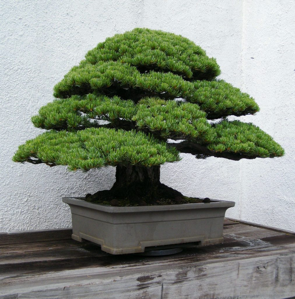 bonsai tipo cedro