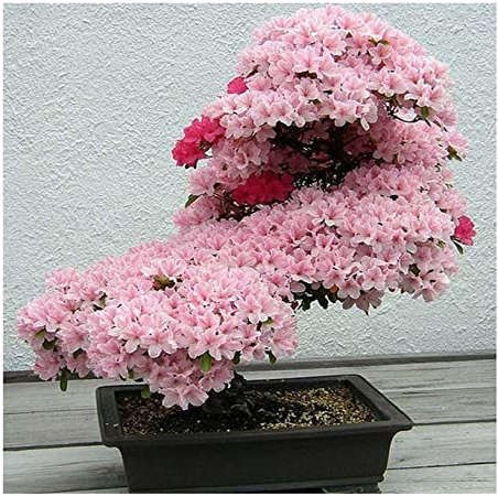 bonsai tipo cerezo