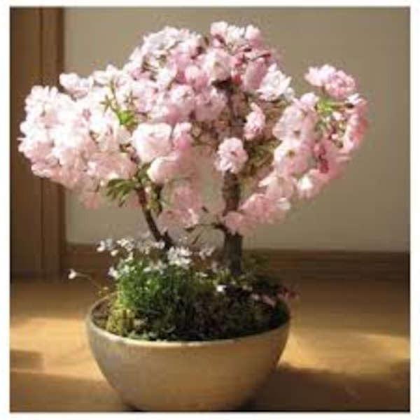 bonsai cerezo rosa como cuidarlo