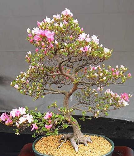 como hacer un bonsai cerezo