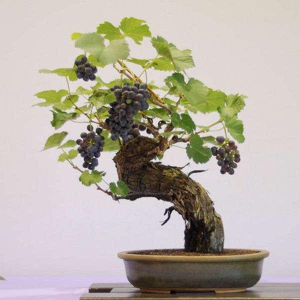 bonsai tipo vid o de uva