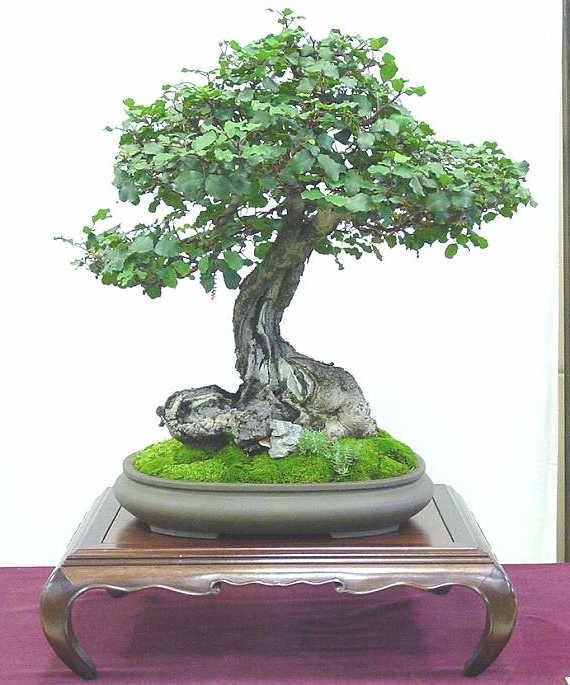 bonsai encina
