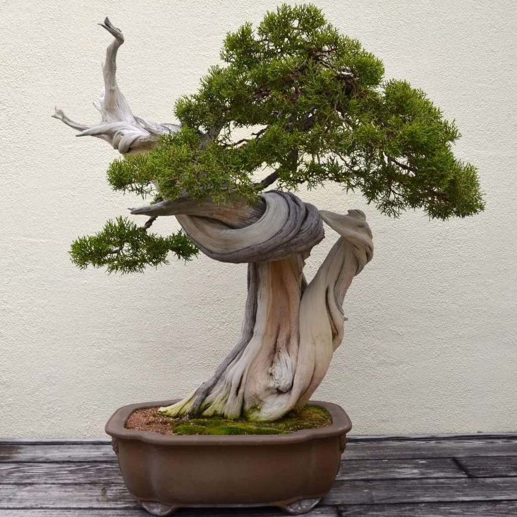 bonsai tipo enebro