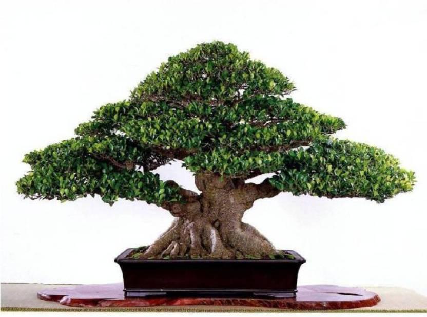 Tipo de bonsai ficus ginseng