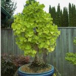 bonsai ginkgo biloba color verde y amarillo