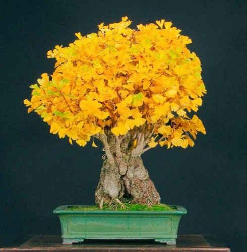 bonsai ginkgo biloba hojas amarillas