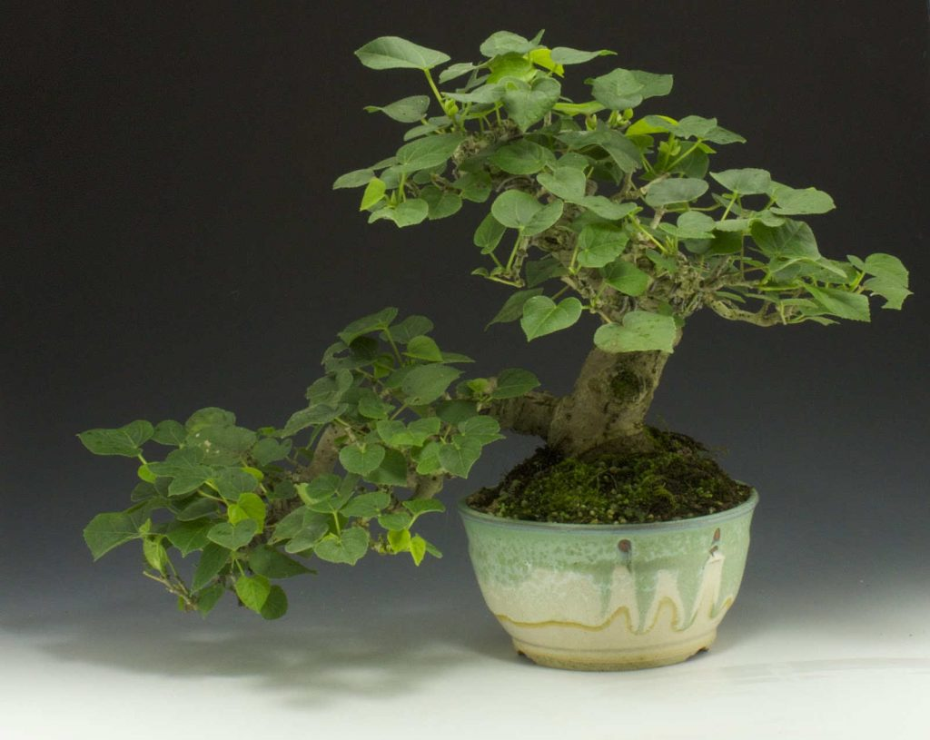 bonsai tipo hibiscus