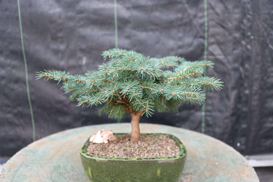 bonsai tipo cedro del himalaya