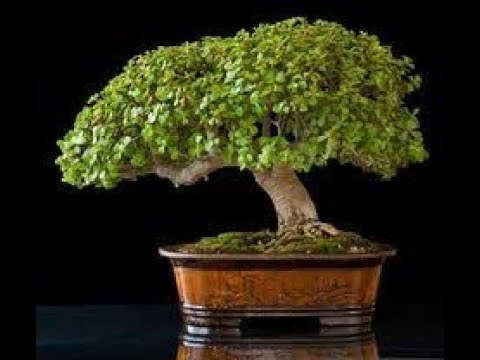 Bonsai tipo jade