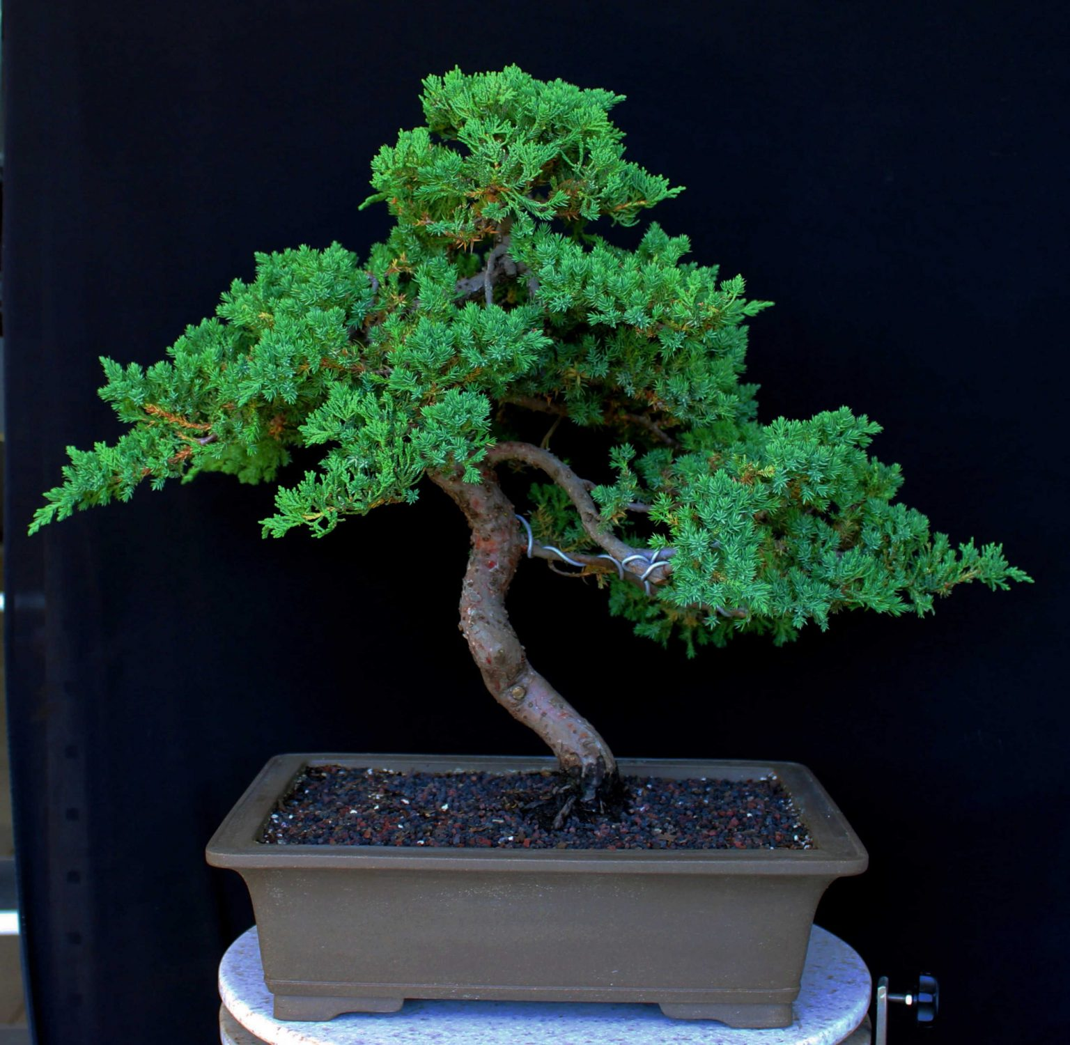 bonsai del tipo junipero