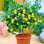bonsai limonero con frutas de limon