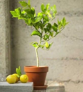 bonsai limonero con limones