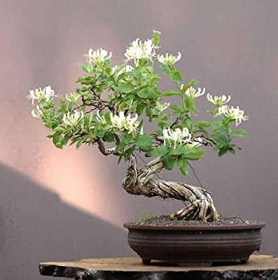 bonsai tipo madreselva