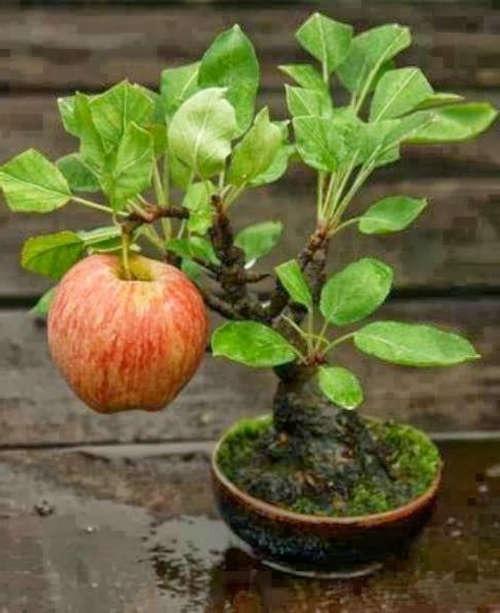 bonsai manzano con una manzana