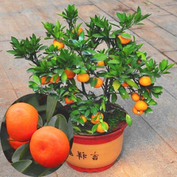 bonsai naranjo con naranjas