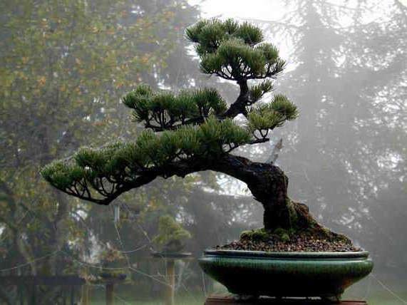 bonsai tipo pino negro japones