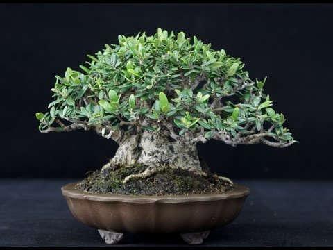 Bonsai de olivo negro