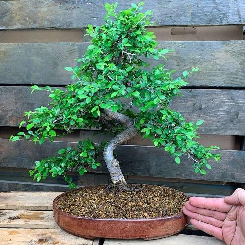 bonsai tipo olmo chino