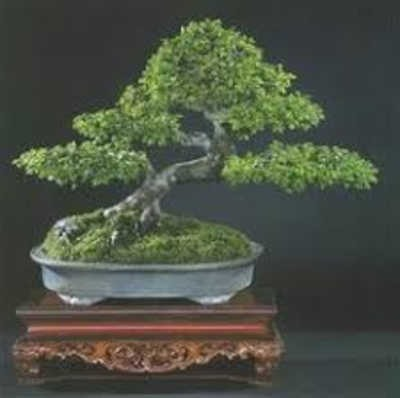 olmo chino bonsai