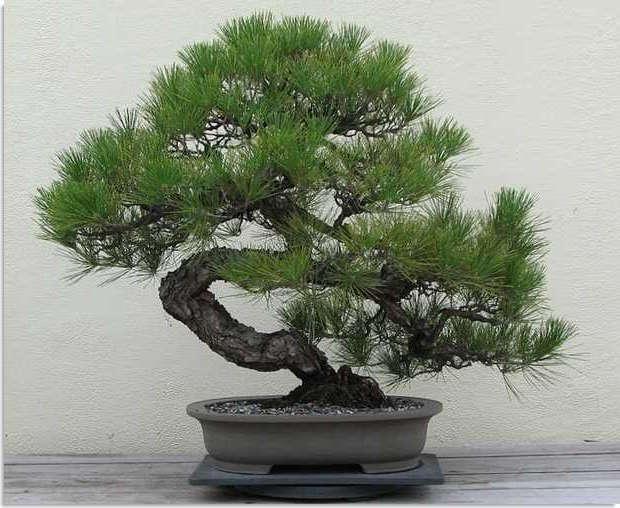 bonsai tipo pino