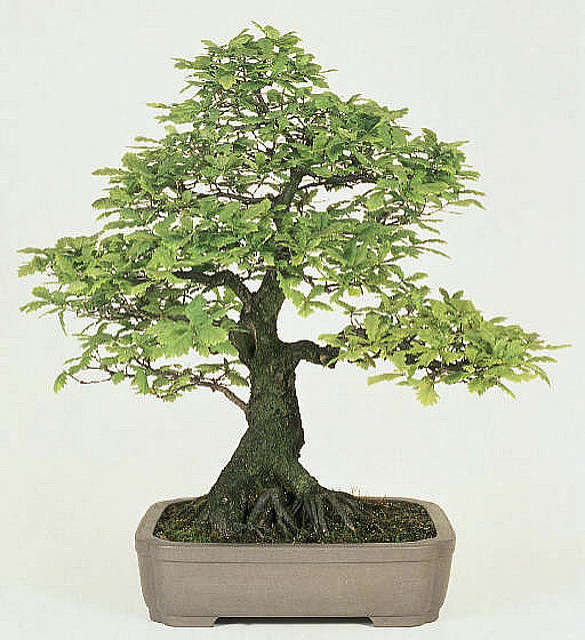 bonsai tipo roble