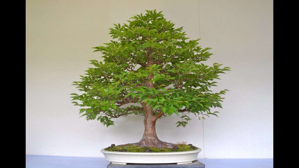 bonsai roble