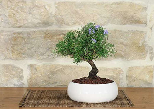 bonsai tipo romero
