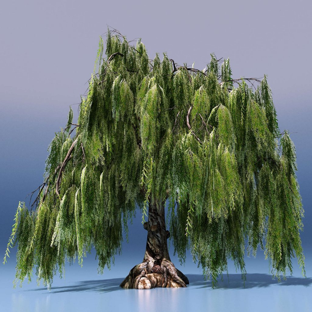 bonsai tipo sauce lloron