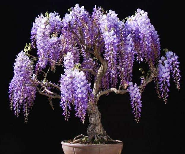 bonsai tipo wisteria