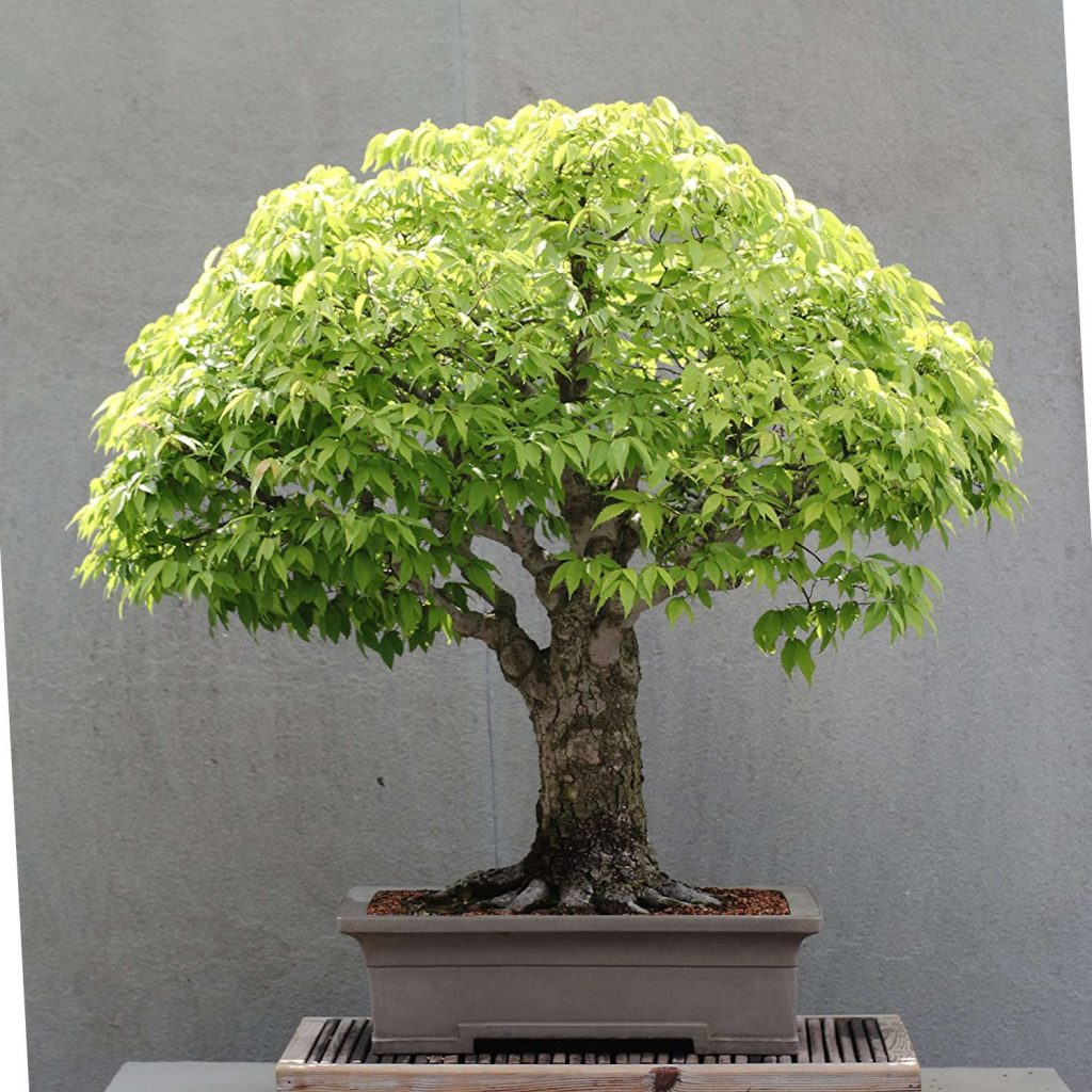 bonsai tipo zelkova