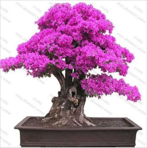 bonsai tipo buganvilla