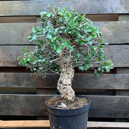 bonsai tipo ginkgo