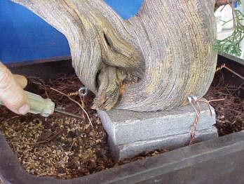 Tanuki bonsai en maceta