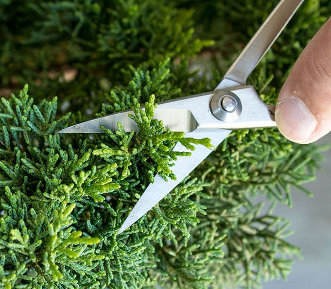 poda de hojas de bonsai pino